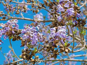 aussergewoehnliche baeume fuer den garten chinesischer bauglockenbaum
