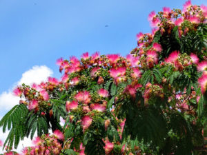 aussergewoehnliche baeume fuer den garten seidenbaum