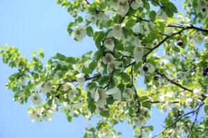 aussergewoehnliche baeume fuer den garten taschentuchbaum