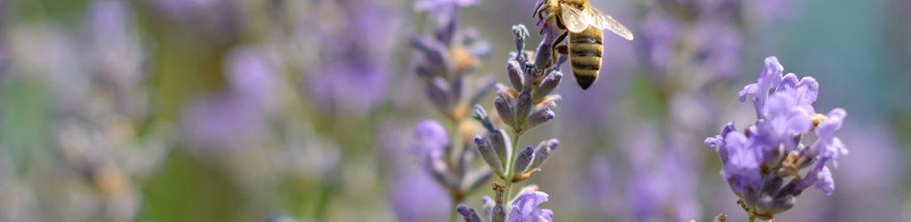 Bienenfreundliche-Pflanzen1